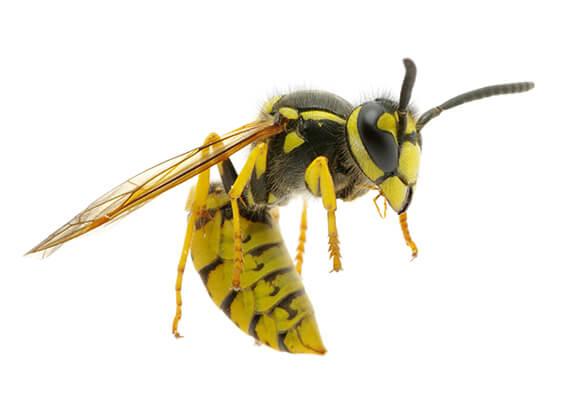 Imagen en primer plano de una avispa amarilla.