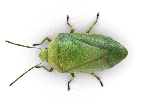 Top-view illustration of a stink bug.