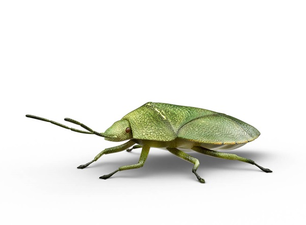 Side-view illustration of a stink bug.