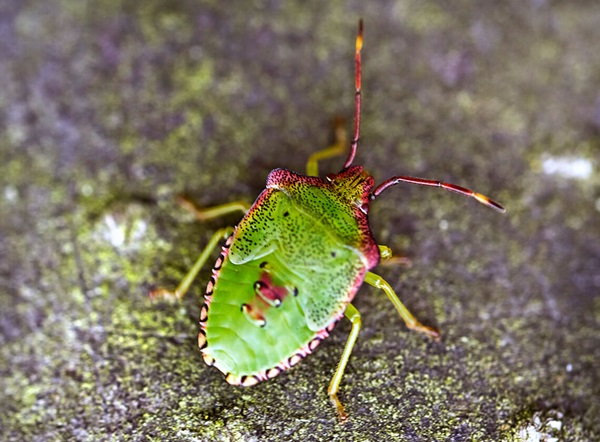 A top-view of a stink bug crawling outdoors.