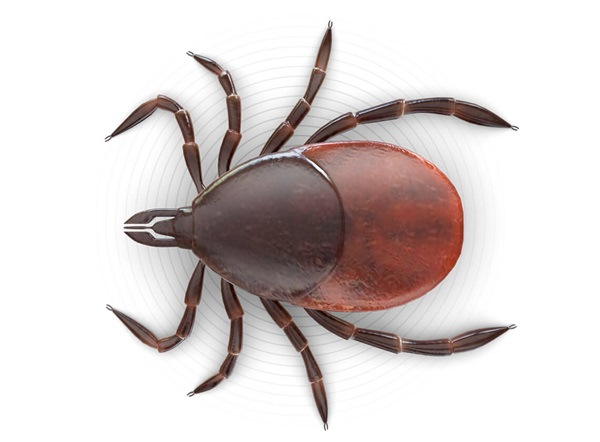 Top-view illustration of a tick.