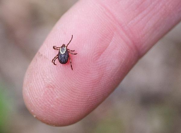 Una garrapata sobre la punta de un dedo humano, viéndose lo pequeña que es en comparación.