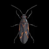 Boxelder-bug-large