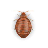 bed-bug-large