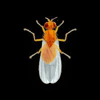 fruit-drain-flies-large