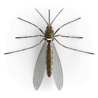 mosquitoes-large
