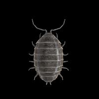 sowbugs-large
