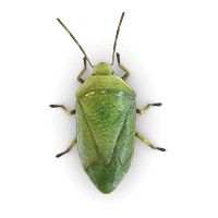 stink-bug-large