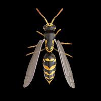 wasps-large