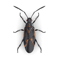 Boxelder bug illustration