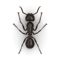 Carpenter ant illustration