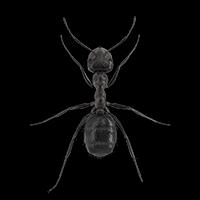Nuisance ant illustration