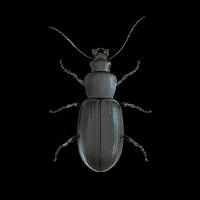 Ilustración de un escarabajo