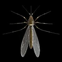 Ilustración de un mosquito