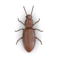 Pantry beetle illustration