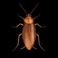 Large roach illustration