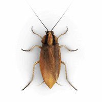 Small roach illustration
