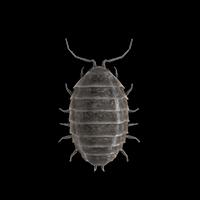 Sowbug illustration